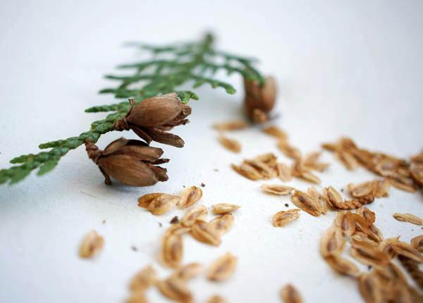 Важен период, когда собирать семена туи — осенью или в конце лета, когда они уже созрели и приобрели оттенок от светло до тёмно-коричневого. Спелые семена легче прорастить