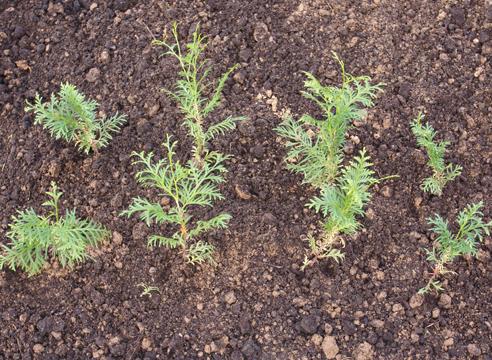 После первой зимы для дальнейшего выращивания советую высаживать сеянцы туи на грядки, если изначально они были посеяны в ящики