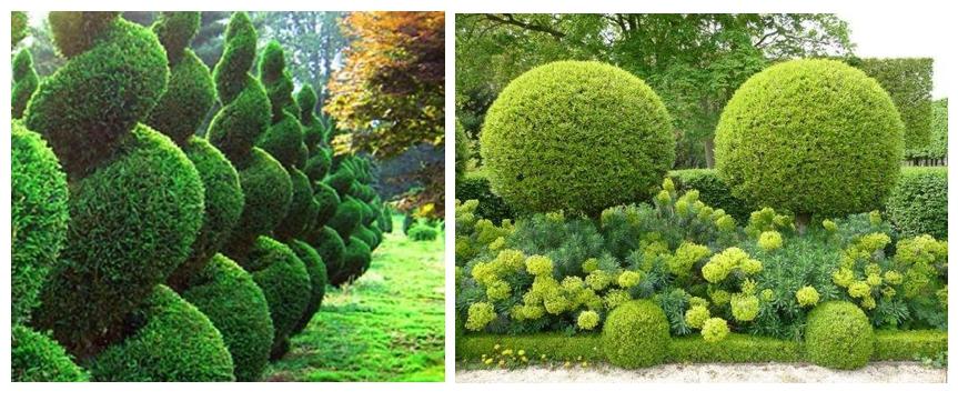 Обрезка кроны туи - настоящее искусство. С помощью обычного садового секатора можно придать шапке дерева самые разнообразные формы и преобразить свой садовый участок.