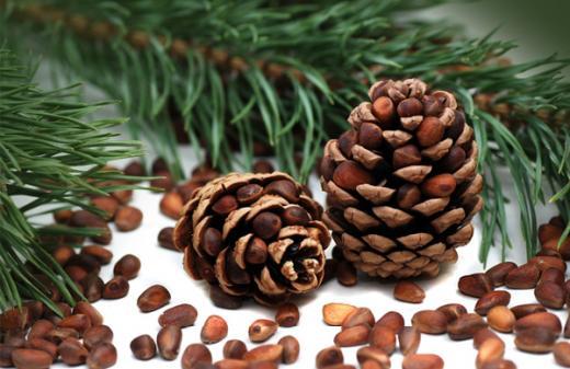 Сосны плодоносят не каждый год, поэтому сбор шишек проводят 1 раз в 3 года