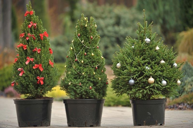 На фото разные виды канадской сосны украшенные под новогоднее дерево