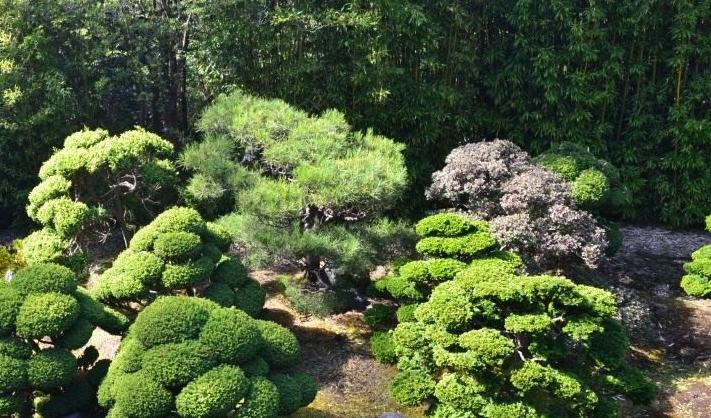 Сосна отлично подходит для комплексных композиций в японском стиле и часто является центральным вариантом