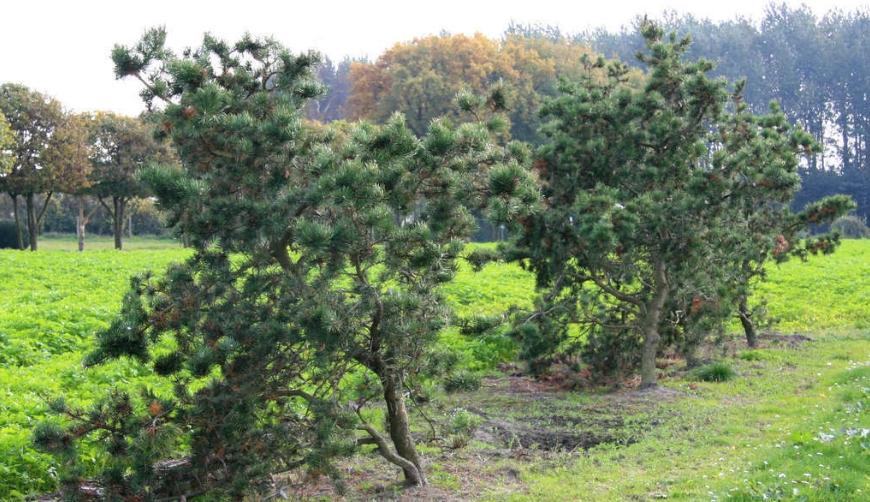 Очень часто деревья имеют причудливую форму с изогнутыми ветками