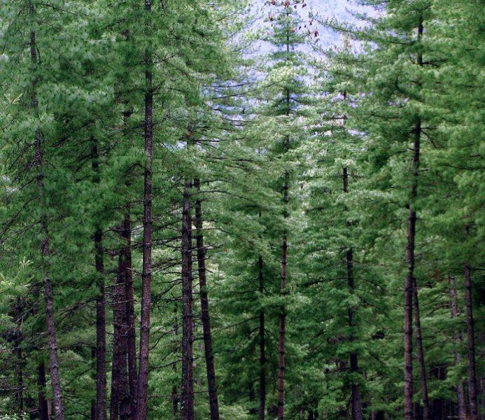 В естественных условиях деревья растут высокими