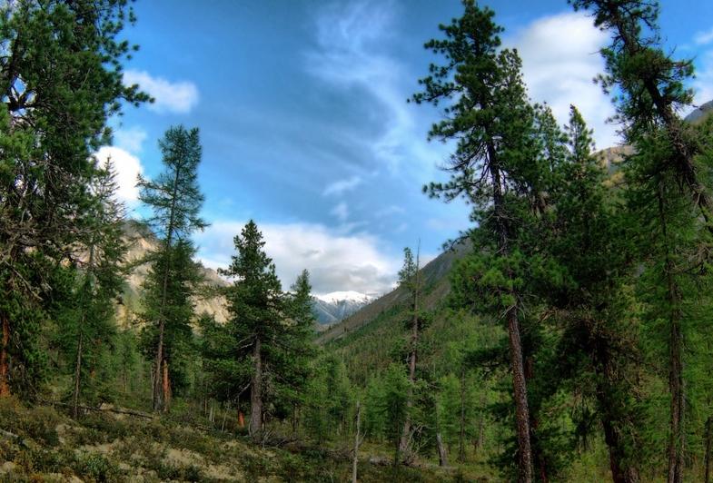 Кедровая сосна часто растет на склонах гор