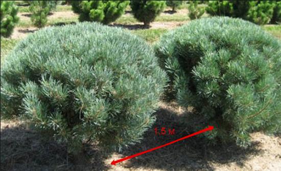 Если планируется посадка нескольких сосен поблизости — расстояние между карликовыми видами древесных растений должно быть не менее 1,5 м, между обычными или крупными деревьями — не менее 4 м