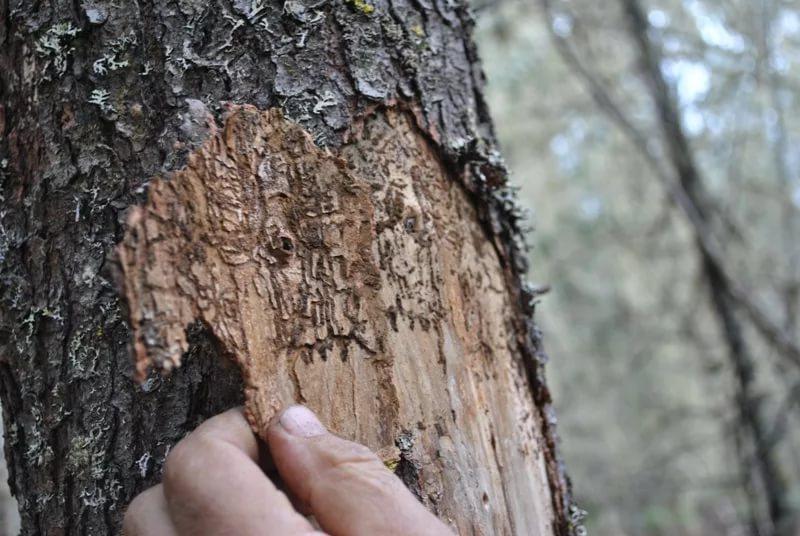 На фото — ствол дерева после жизнедеятельности жука-короеда