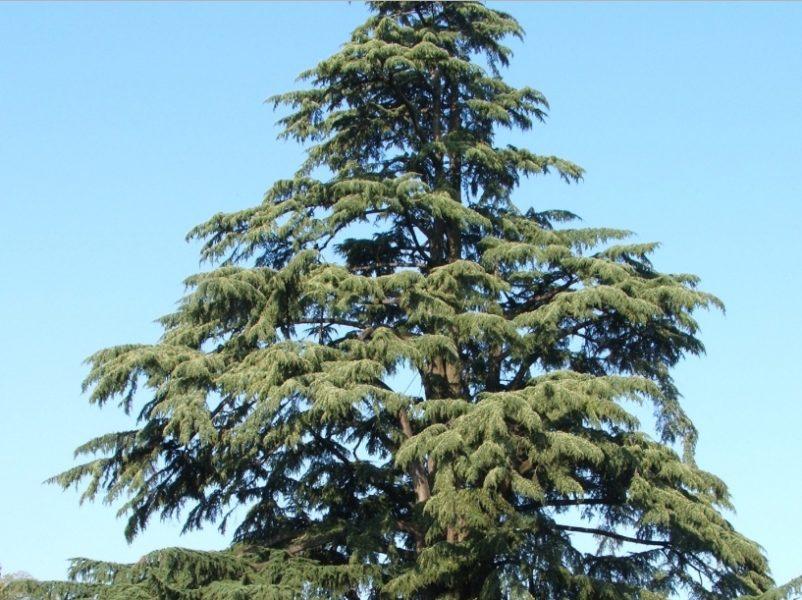 В естественных условиях деревья растут высокими и раскидистыми