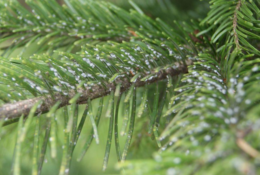 Тля-хермес – часто встречаемый вредитель