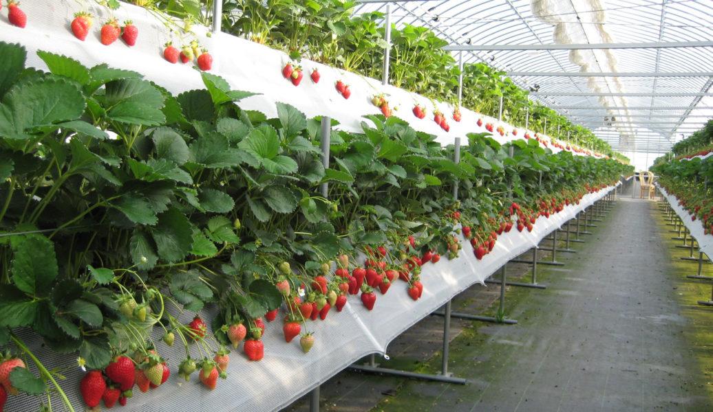 В условиях Средней полосы сорт часто выращивается в теплицах, как на фото