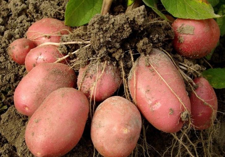 Под каждым кустом вырастает по полтора десятка крупных картофелин