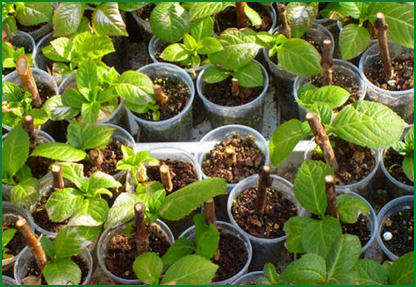 Гортензию с комом из контейнера высаживают весной. Выбирайте растение с 2–3 побегами, почки и кора должны быть не повреждены, желательно, чтобы просматривалась корневая система