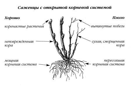 У здорового саженца неповрежденная кора, хорошо развиты почки и мощная корневая система