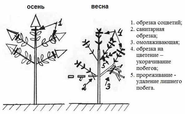 На фото — описание и инструкция по обрезке гортензии
