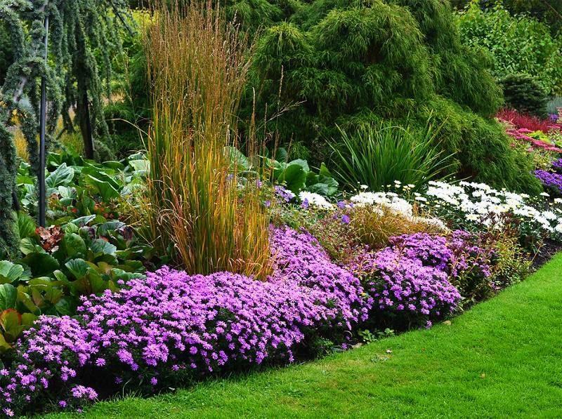 Астра кустарниковая широко применяется в ландшафтном дизайне