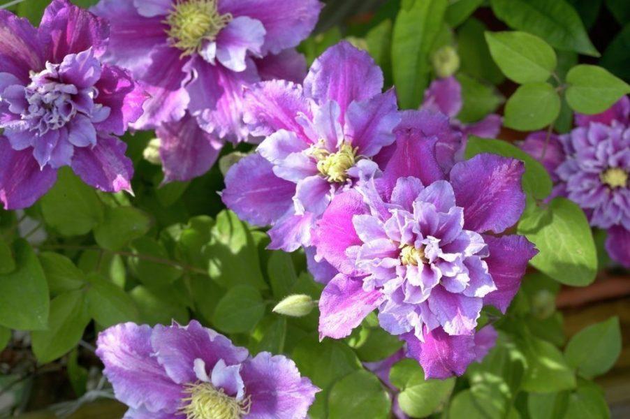 В суровом климате Пиилу не образует махровых соцветий. Часто у молодых саженцев и ослабленных растений второй раз и вовсе нет цветов