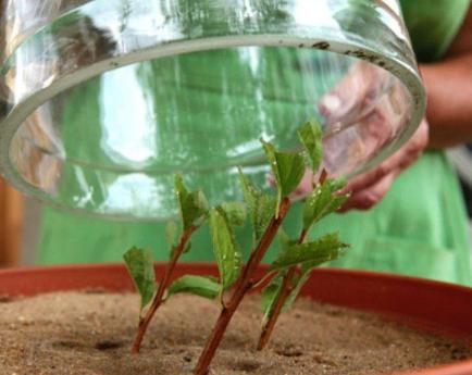 Вейгела бристоль руби посадка и уход в открытом грунте