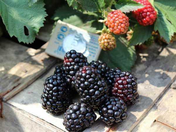 Сорт Тройная Корона плодоносит очень крупными ягодами — они могут достигать размеров спичечного коробка