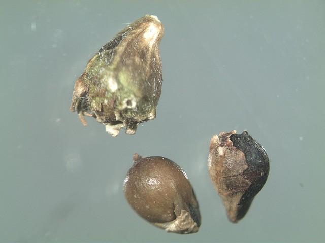 Семечки повилики способны имитировать плоды культурных растений, поэтому их трудно отделить от посевного материала