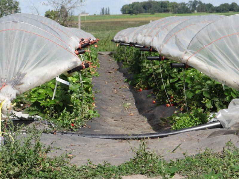 Сверхранние сорта клубники чаще всего выращиваются в пленочных туннелях