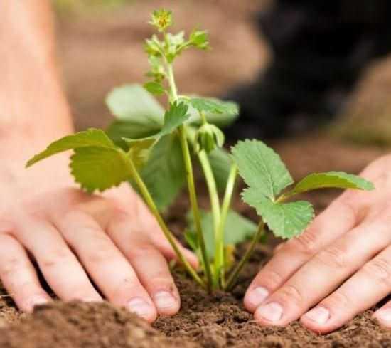 При высаживании культуры ее точка роста оставляется над землей