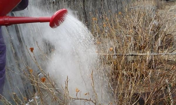 Для уничтожения спор фитофторы осенью после сбора урожая можно пролить землю кипятком, это нейтрализует патоген