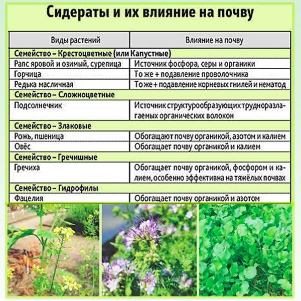 Сидераты насыщают почву питательными веществами, фитонцидами, которые не дают развиваться фитофторозу
