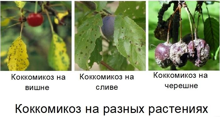 Фото коккомикоза на разных плодовых. Чаще всего болезнь поражает деревья вишни и черешни, но это угроза и для абрикоса, сливы, черешни, миндаля, черёмухи
