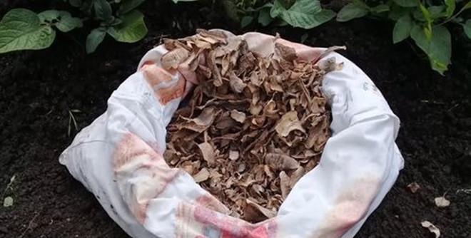 Картофельные очистки — лучшее удобрение для смородины, как использовать и как подкормить