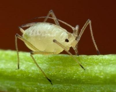 Борьба с вредителями репчатого лука химическими и народными средствами