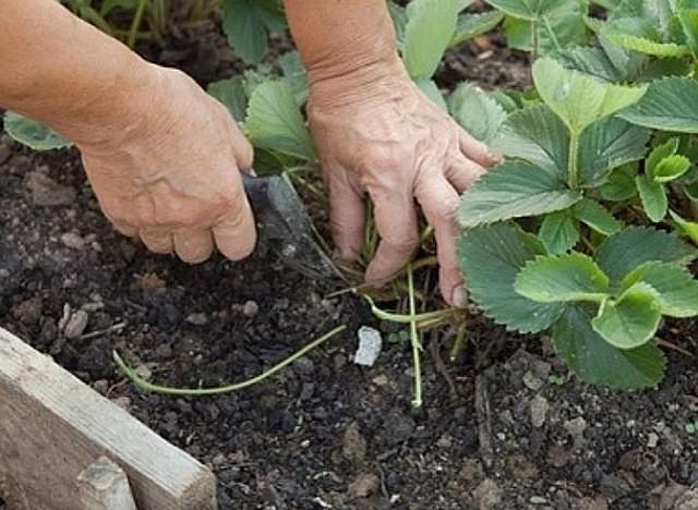 Обрезка лишних усиков (показано на фото) повышает плодовитость культуры