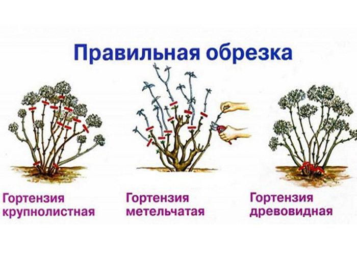 Обрезка стимулирует рост новых крепких побегов, на которых развиваются крупные соцветия