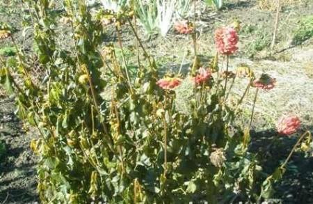 Если листья растения после заморозков стали вялыми, приобрели бурый или болотный цвет — пора копать