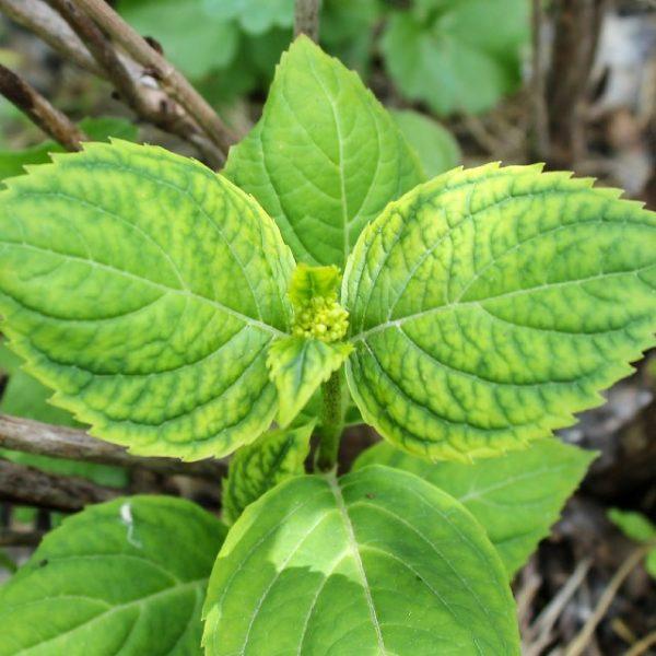 Основной признак недостатка железа у растения — желтый цвет его листвы