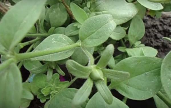 Первая неделя после опыления, семяпочка маленькая, зелёного цвета