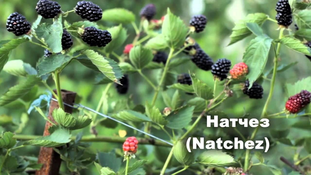 Ежевики Натчез нуждается в подвязке, так как стебли этого сорта очень хрупкие и легко ломаются под весом крупных ягод