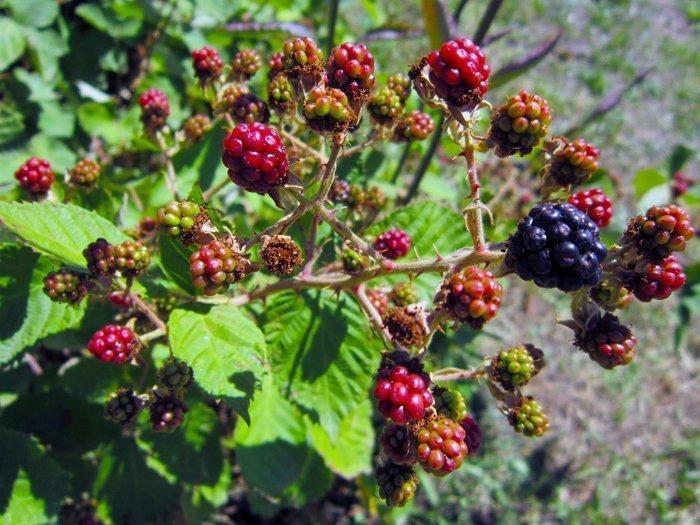 В период созревания ежевики нужно затенить кустарник от попадания прямых лучей солнца, чтобы ягоды не «сгорели»