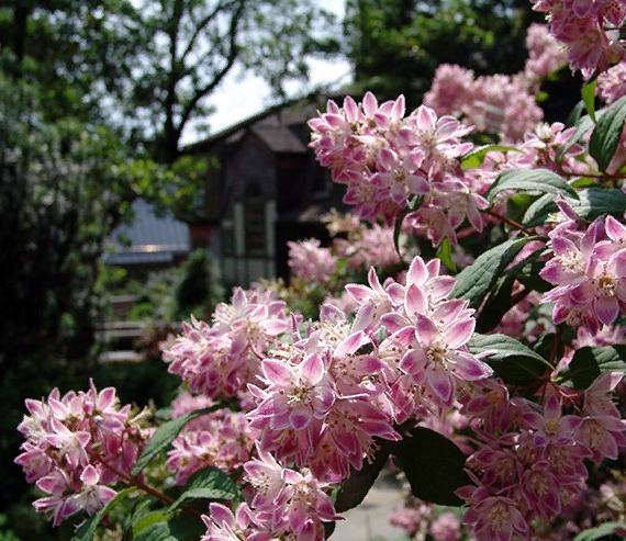 Среди всего видового разнообразия, розовая дейция считается одним из самых красивых представителей рода