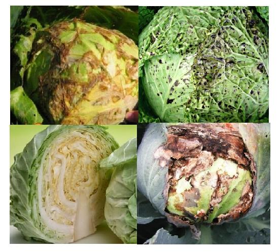 На фото — некоторые болезни капусты, они делятся на вирусные и грибковые заболевания