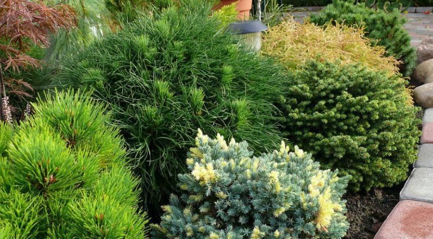 Сосна Мугус отлично подходит для комплексного озеленения участков