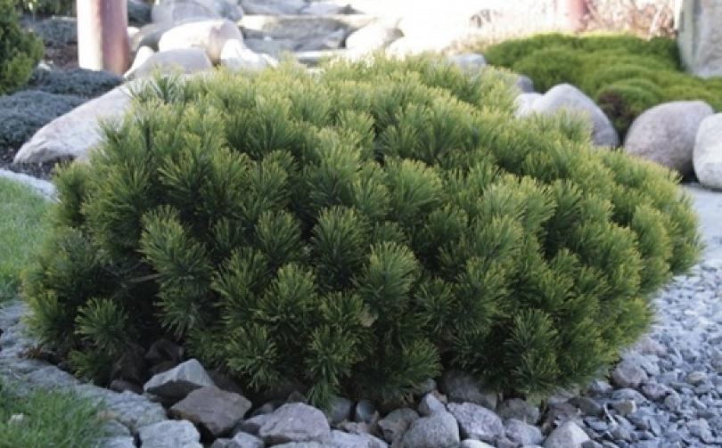 Данный вариант прекрасно смотрится и как солитер, одиночные растения обычно обрамляются камнями
