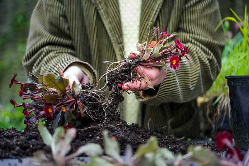 Самый распространённый способ размножения — делением куста