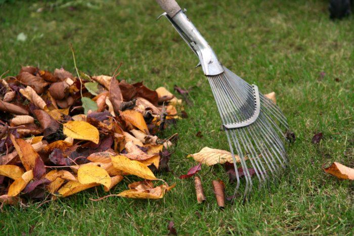 Убирать листья в саду нужно своевременно — многие болезни плодовых деревьев появляются из-за грибка, живущего в гниющих опавших листьях