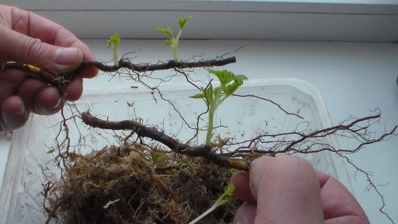 На фото видно как развиваются корневые отпрыски