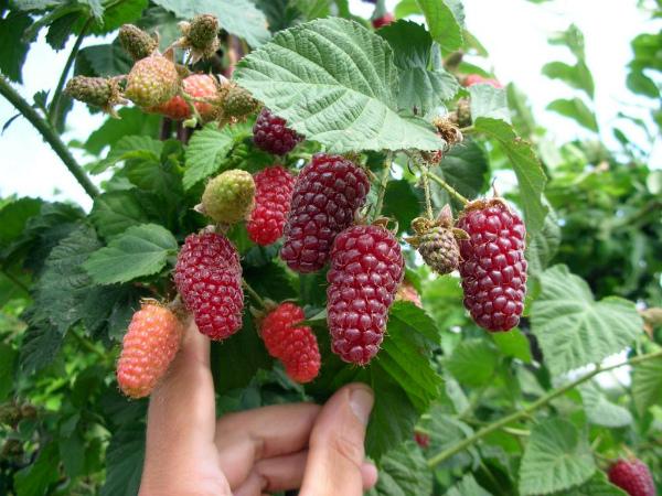 Гибридные ежевико-малиновые сорта отличаются супер крупными ягодами, хорошо хранятся и транспортируются