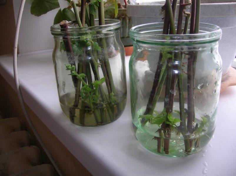 На фото показано, как черенковать без земли — корни нарастают в банке с водой