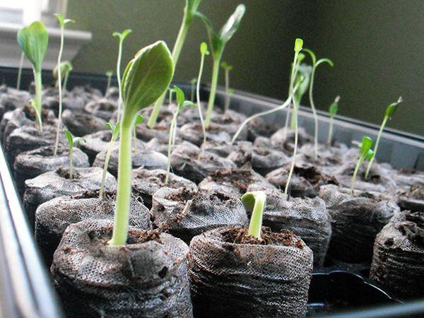После правильной посадки семян всходы фиалки должны выглядеть как на фото