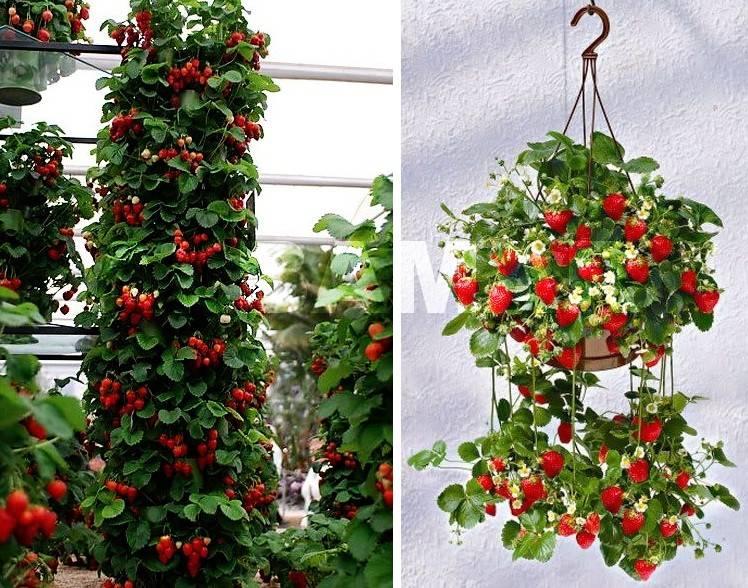 Плетистые кусты с висящими красными ягодами очень красиво смотрятся в саду. Вертикальные грядки разнообразного строения, кашпо позволяют вырастить ягоду даже на террасе или в квартире