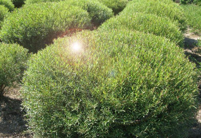Вариант шаровидного дерева, который выглядит аккуратно и не растет высоким