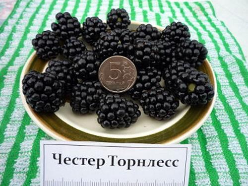 Крупные размеры и сладость ежевика Честер унаследовала от родительского сорта Торнфри